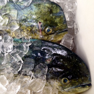 Fresh Mahimahi iced and ready for sale.